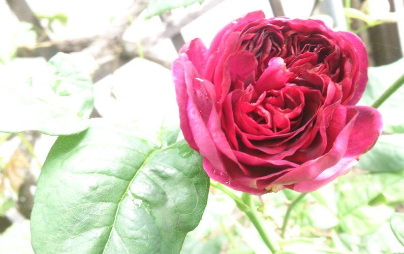 Rosen-Duft aus der Natur